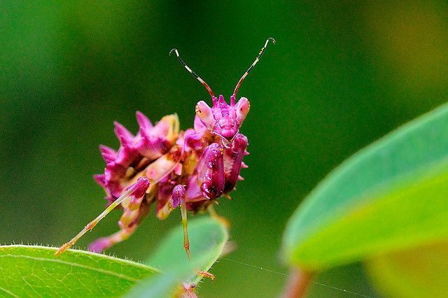 Pink Praying Mantis Praying Mantis Macro Photos Beautiful Bugs
