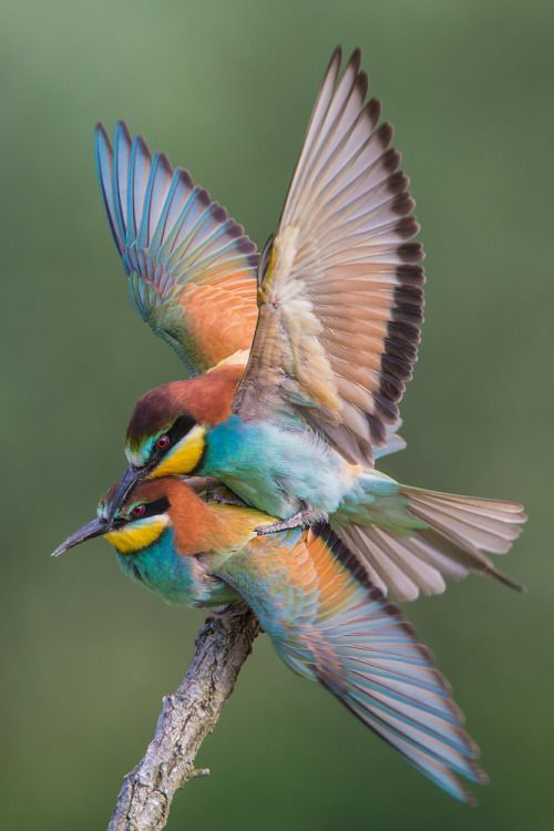 The European Bee-eater - Merops apiaster, is a near passerine bird in the bee-eater family Merropidae.It breeds in southern Europe and parts of North Africa and western Asia. Photo by Jorg Stemmler.