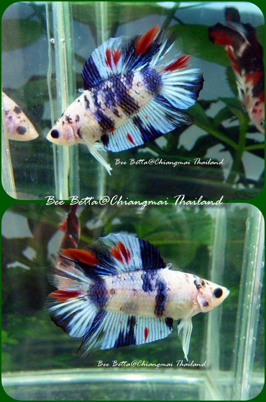 Koi fish in aquarium care - Koi