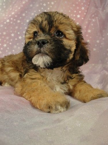 Teddy Bear Dog Breed Teddy Bear Puppies For Sale In Minnesota