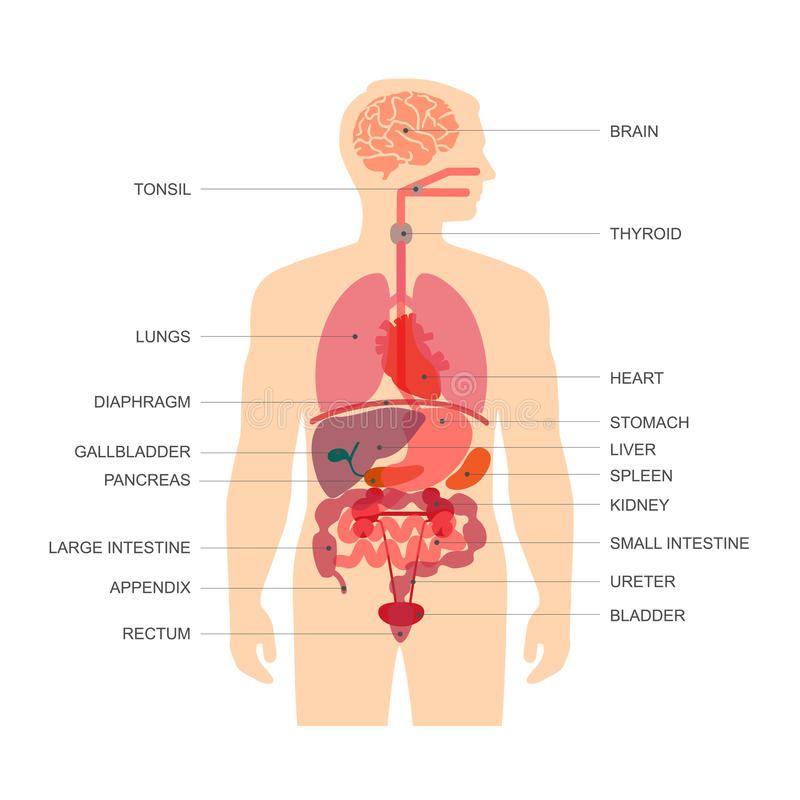 human body anatomy vector medical organs system sponsored anatomy body human vector syst human body organs human body diagram body anatomy organs human body anatomy vector medical