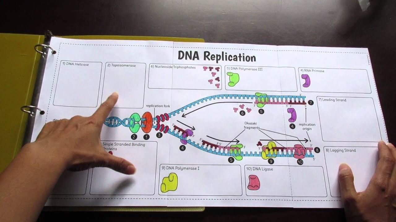 Dna Replication Worksheet Answers Big Dna Replication Foldable By Tangstar Sc In 2020 Transcription And Translation Dna Transcription And Translation Dna Transcription