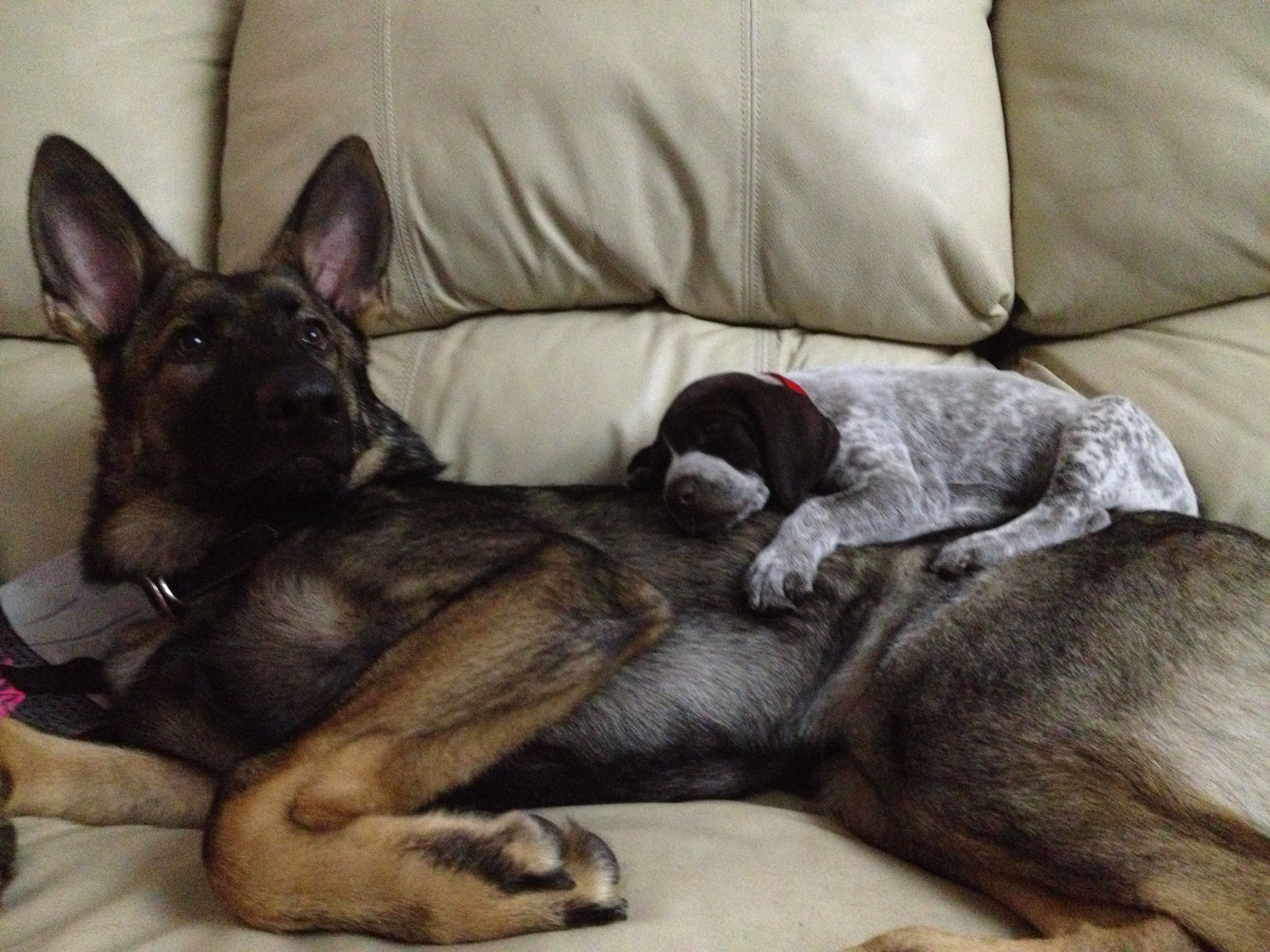 6 Months Old German Shepard And 8 Week Old Short Haired Pointer Gsp German Shorthair Animal Lover Pets