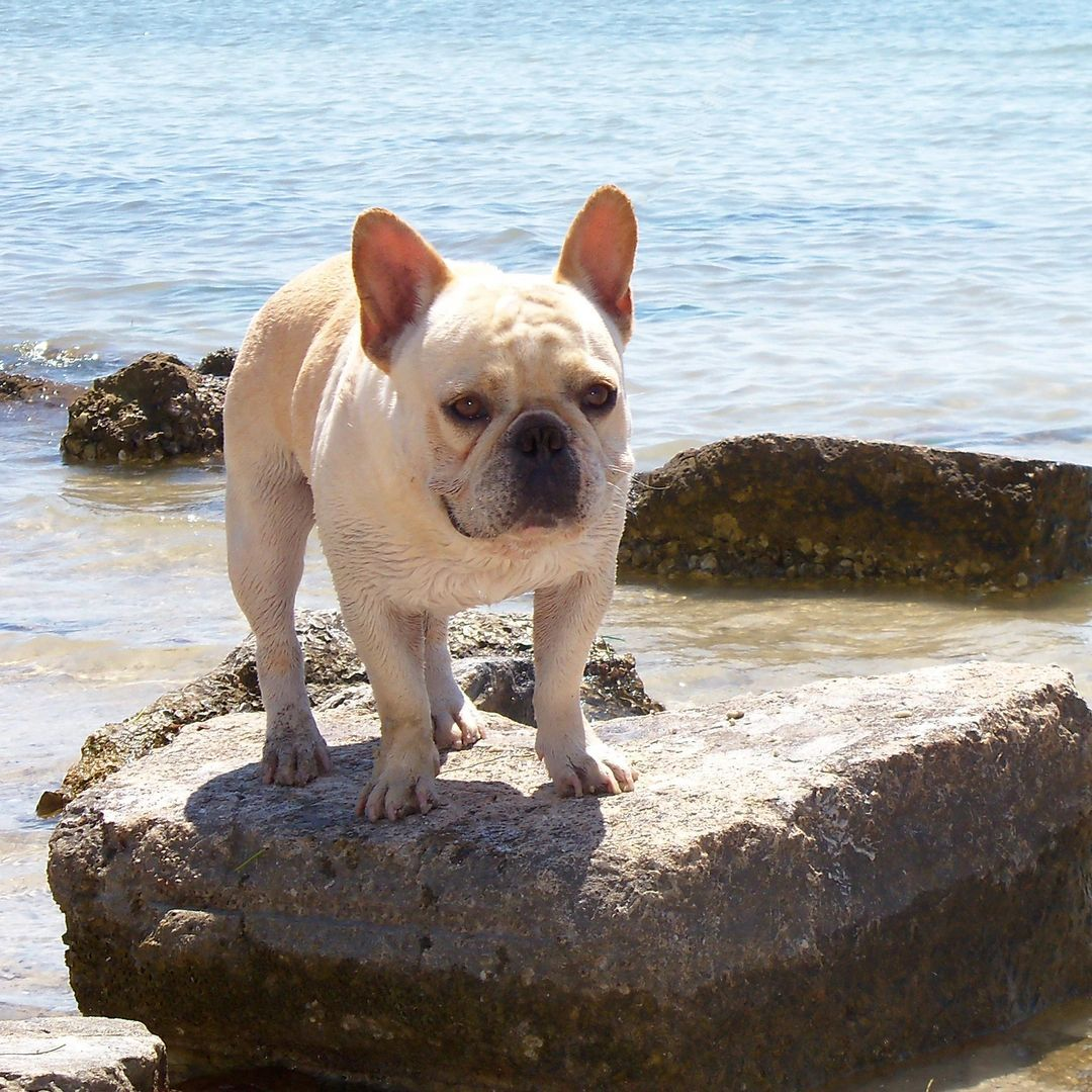 Retired French Bulldog breeders that are looking for