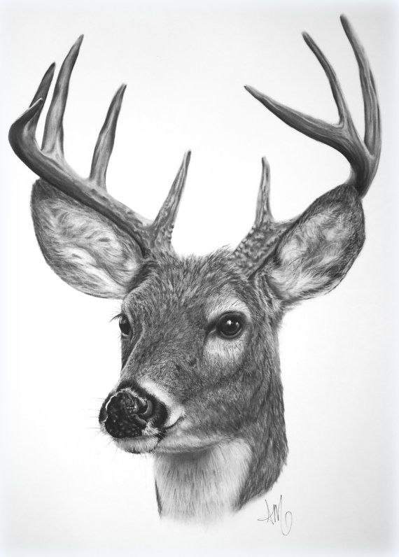 Drawing of a White-tailed Deer - fine art print | Dibujo ...