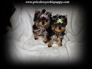 Michigan Teacup Puppies For Sale Micro Teacup Yorkie Micro