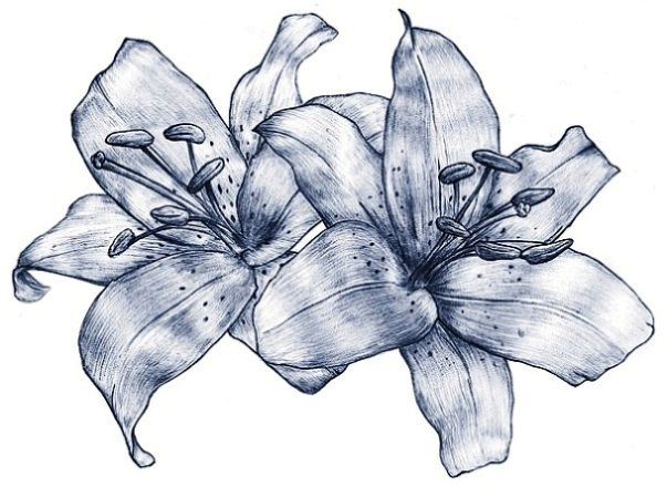 Lily flowers drawings lily flowers tattoo drawing