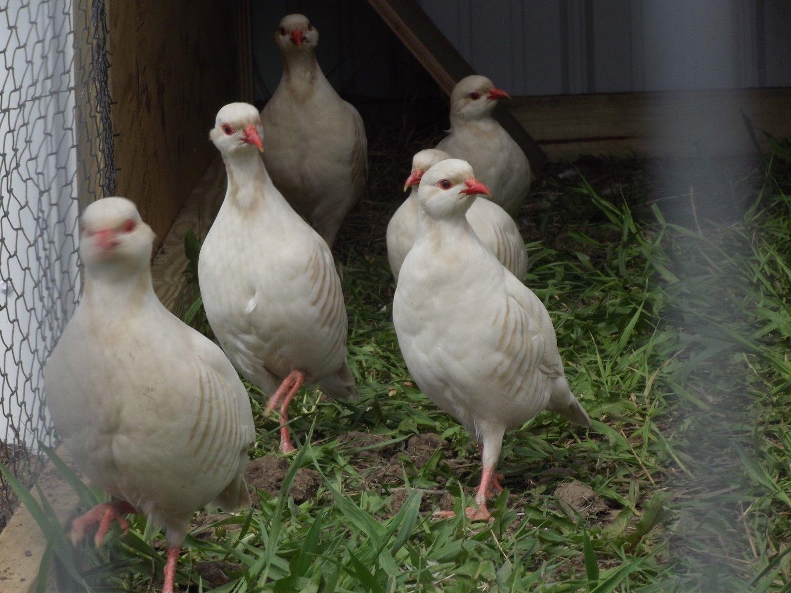 10 Albino Chuckar Partridge Hatching Eggs Pheasant Quail