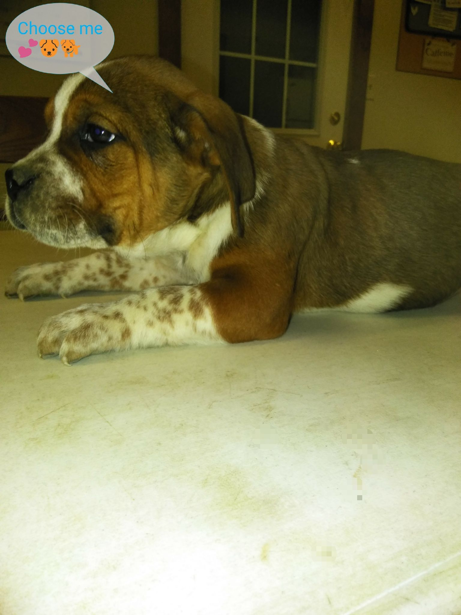 Max Male Beabull Pup For Sale Near Nappanee Indiana Vip