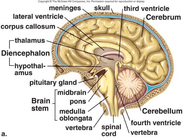 Structure Of The Brain Various Parts And Their Names Video On Link