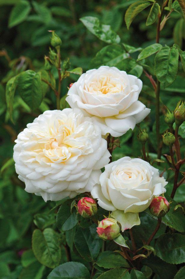 "~""Tranquility"" | Hybrid Moschata, Shrub. English #Rose Collection"