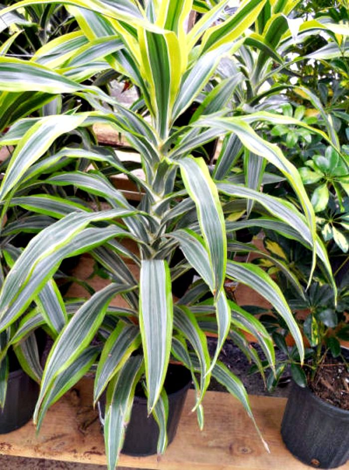 Dracena Fragrans   Corn Plant Will Grow Well Indoors. Try To Keep It Near A
