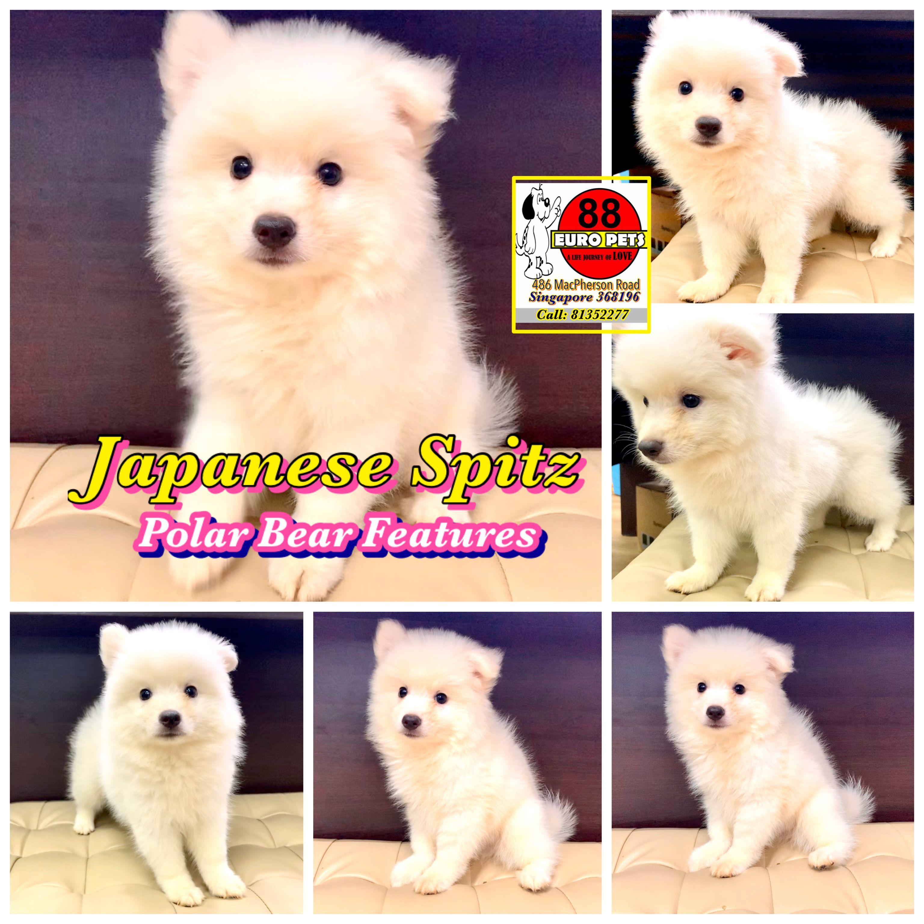 Japanese Spitz Puppies Singapore Japanese Spitz Puppy Japanese Spitz Puppies For Sale