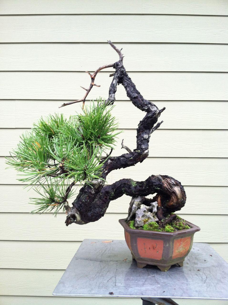 Very nice bunjin shore pine, Pinus contorta contorta