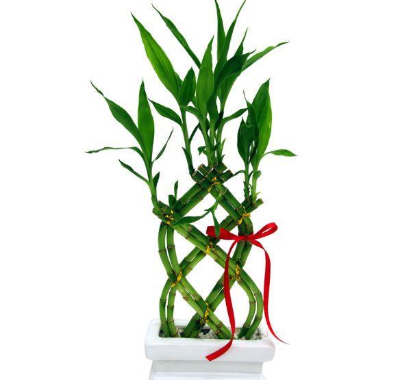 BAMBU DA SORTE | Considerada sinônimo de boa sorte quando dado de presente, essa planta tem em seu nome bambu, porém não possui bambu algum. Para manutenção, é necessário trocar a água uma vez por semana e expô-la a luz solar indireta. Com origem no Taiwan, é uma planta importante no feng shui.