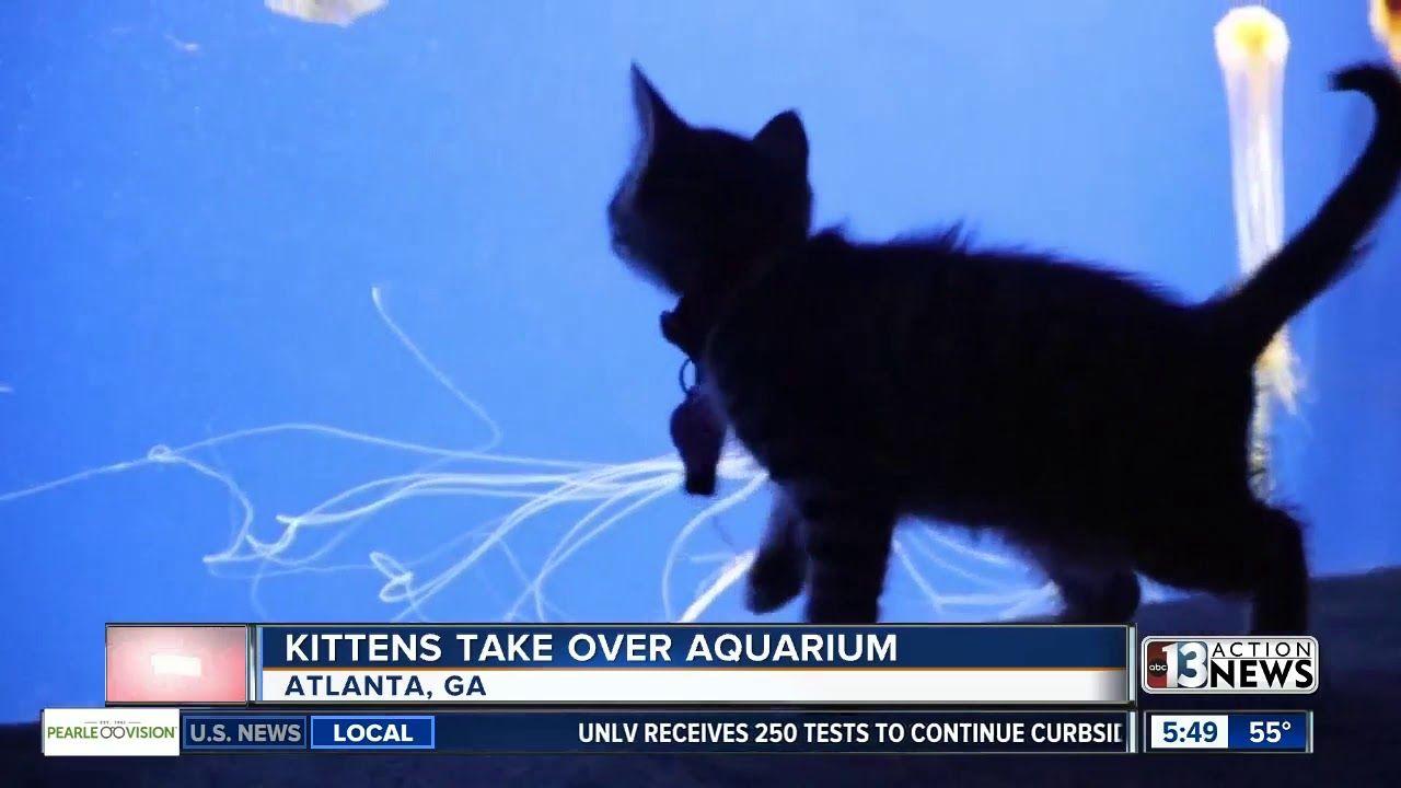 Aquariums Trending Kittens Take Over Aquarium In Atlanta In 2020 Kittens Georgia Aquarium Aquarium