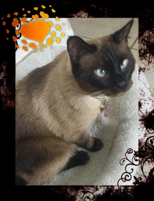 My Siamese Cat Vanilla He S My Baby Siamese Cats Cats Siamese