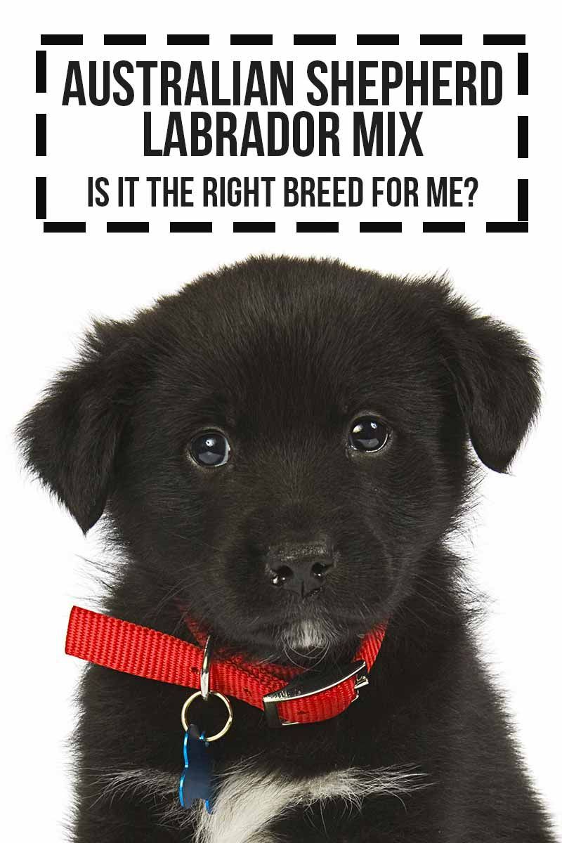 Australian Shepherd Labrador Mix Is It The Right Breed For Me A