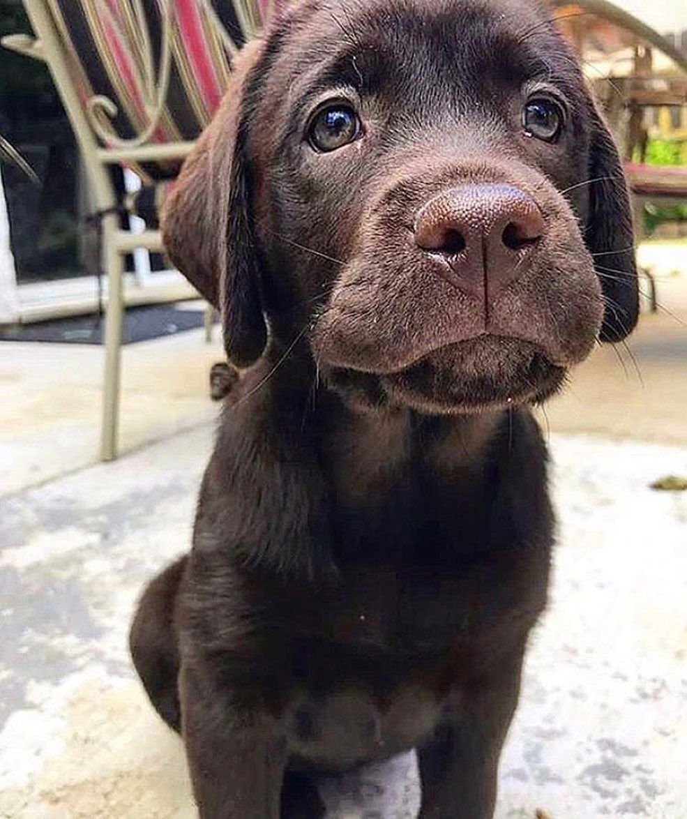 Squishy Face Yellow Lab Omg Labradorretriever Labrador