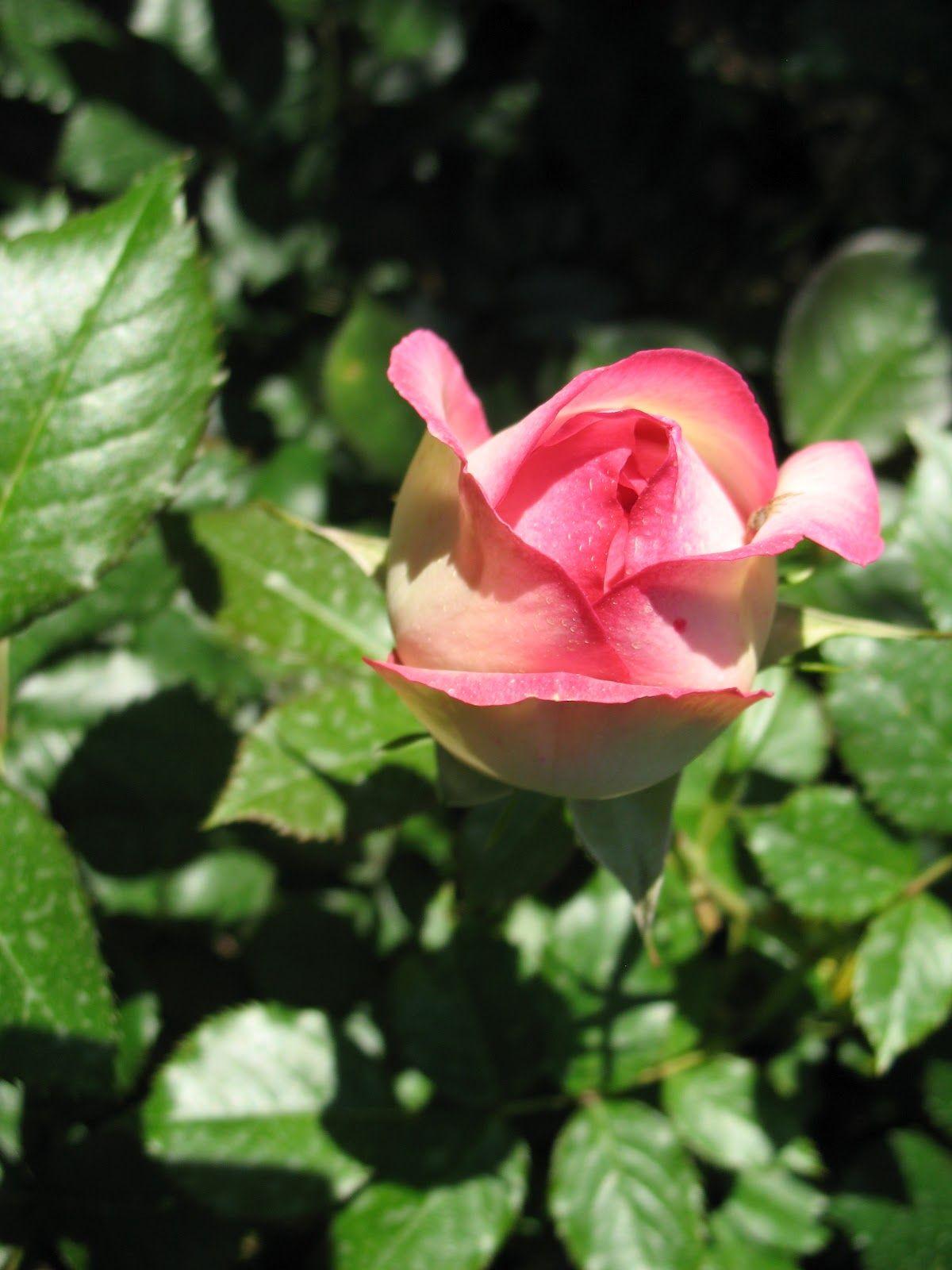 """Rosier """"Pierre de Ronsard"""" (Görüntüler ile) Güller"""