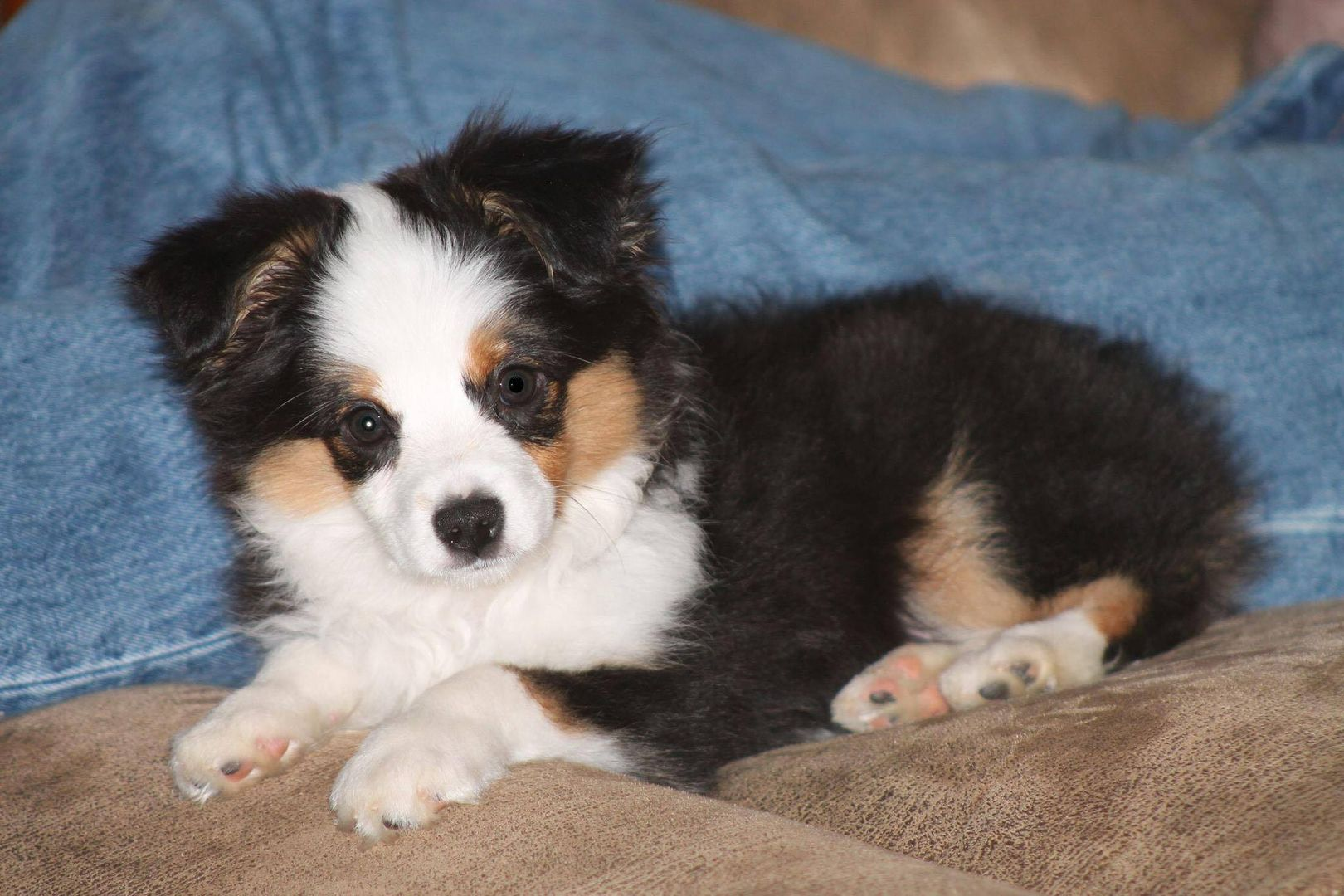 Teacup Toy And Miniature Australian Shepherds Australian