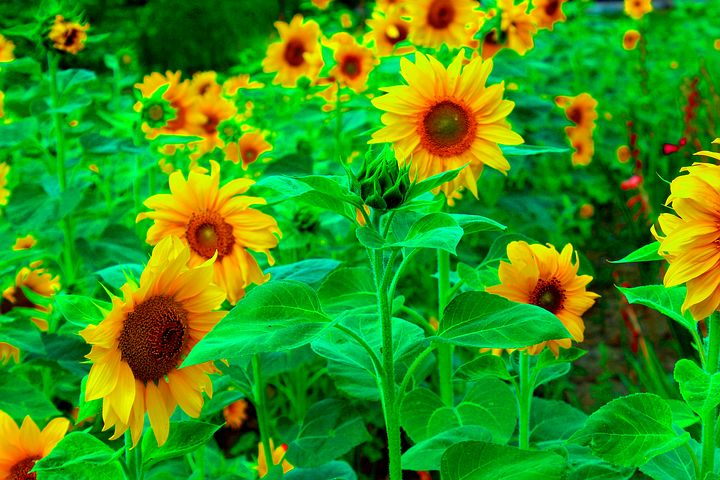 8 000 Free Sunflowers Bloom Images Pixabay In 2020 Landscaping Near Me Landscaping Atlanta Landscaping Software