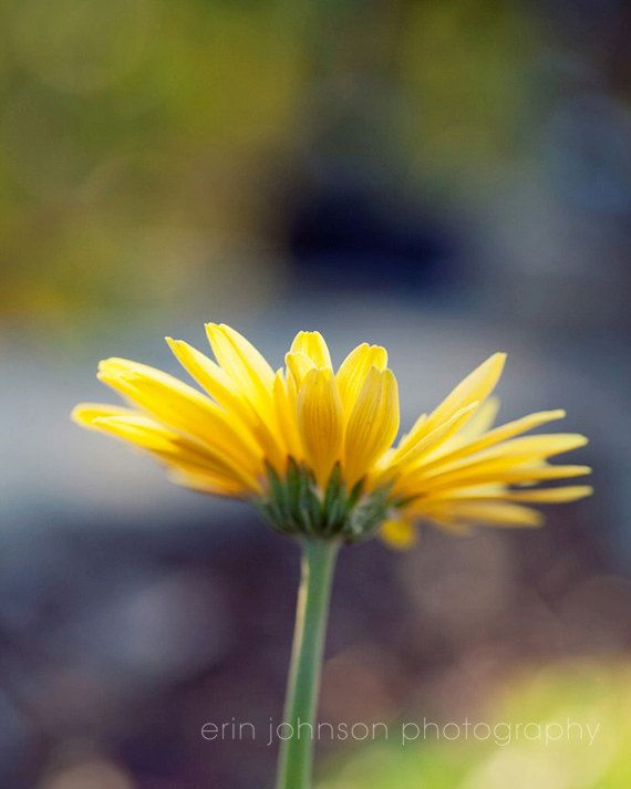 flower photography yellow daisy nature photograph bokeh gerber daisy ...