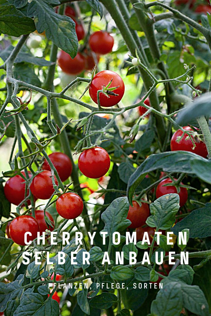 Die Kleinen Cherrytomaten Werden Oftmals Irrtumlicherweise Auch Als Cocktailtomaten Bezeichnet Cherrytomaten Mogen Besonders Sonnige Aber Wet In 2020 Vegetables Fruit