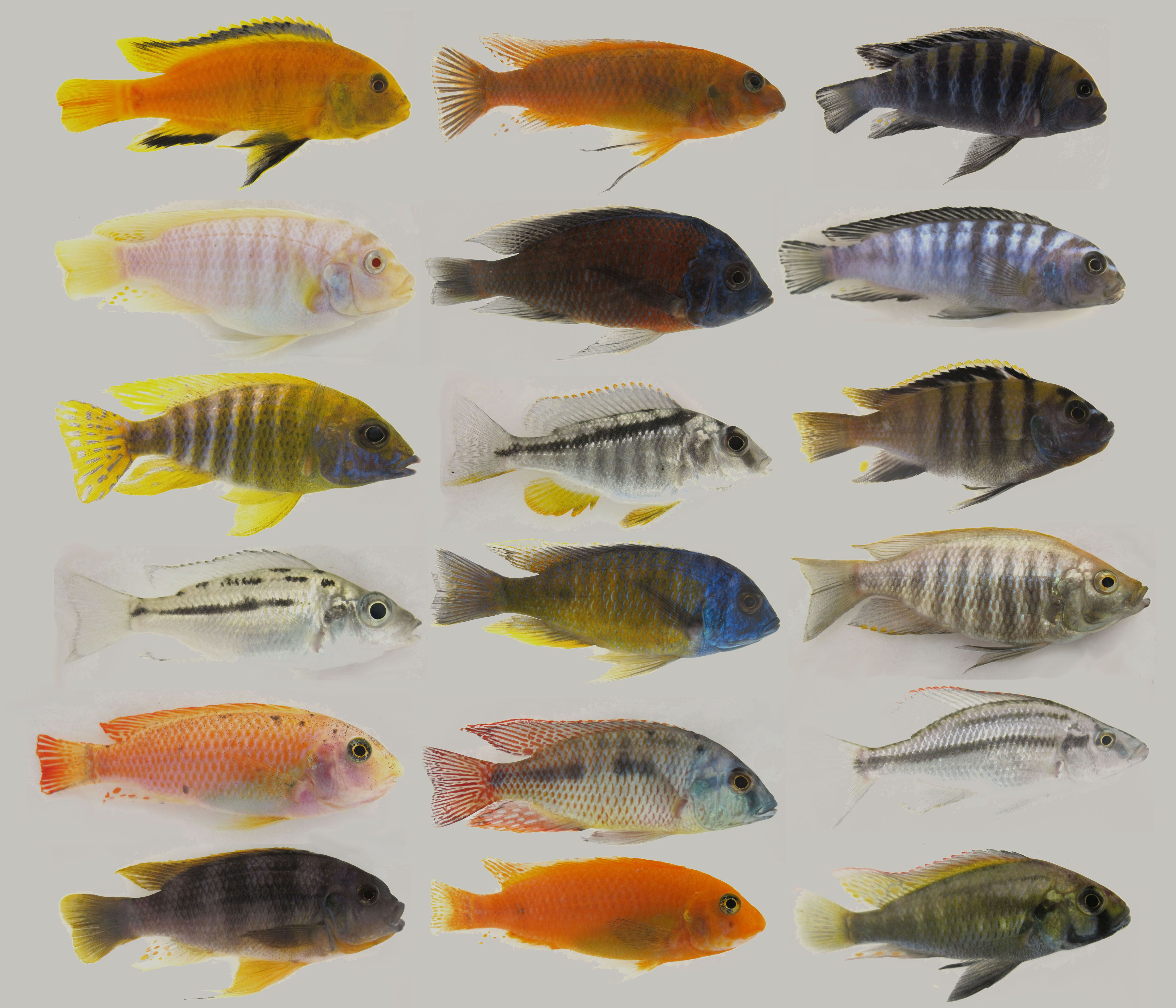 Comparison of several male african cichlid species for African freshwater fish