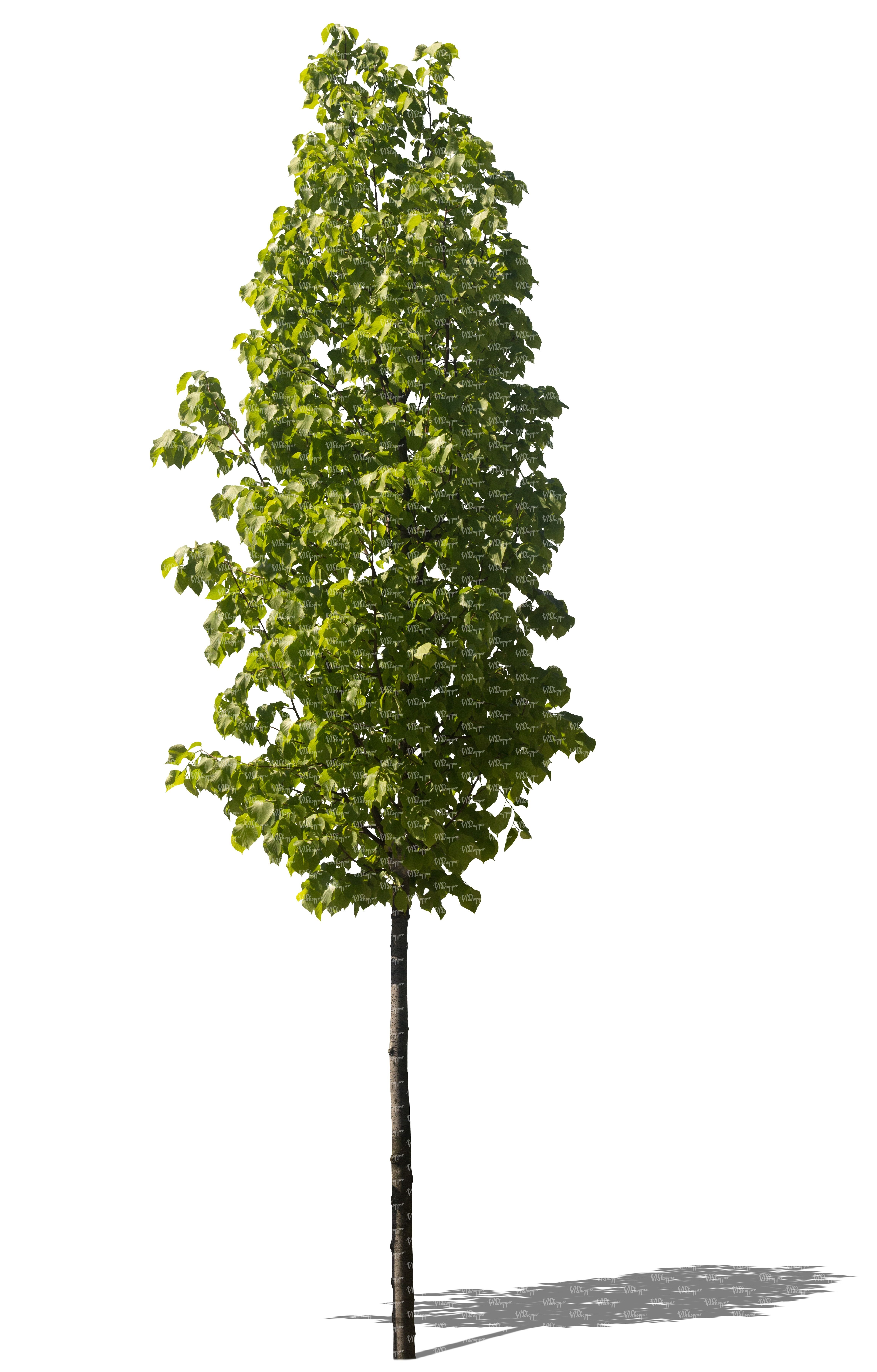cut out small linden tree cut out plants VIShopper
