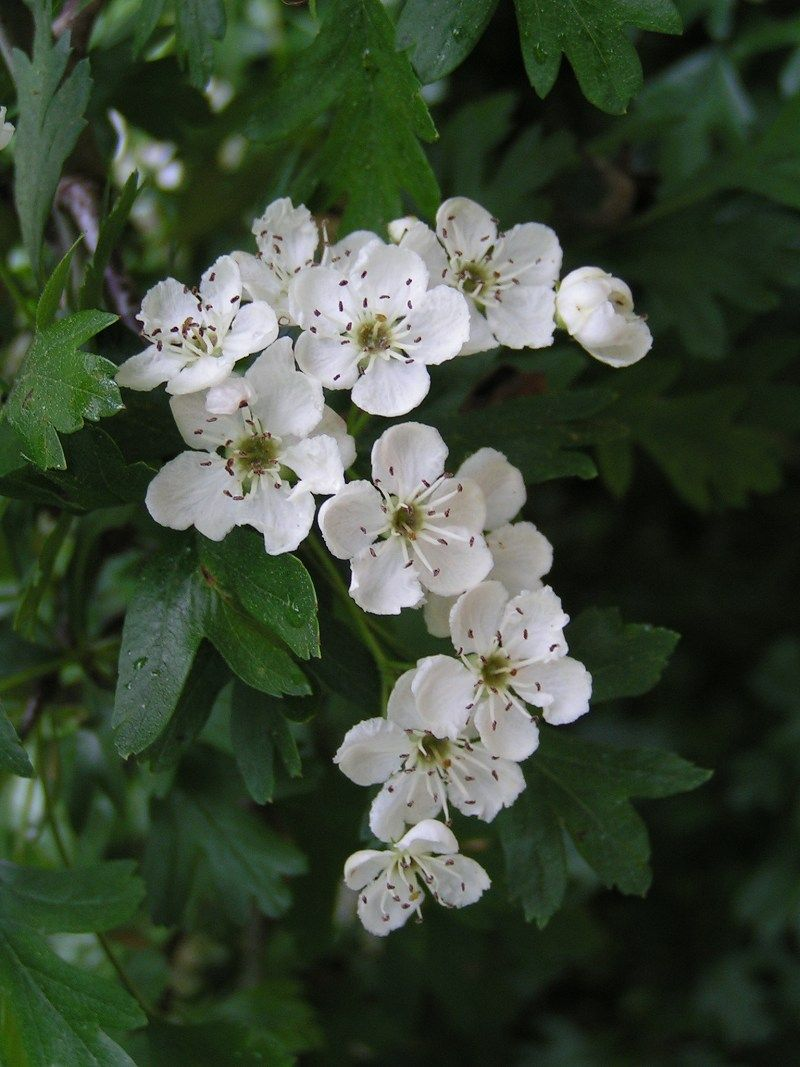 common hawthorn flowers crataegus monogyna wikipedia