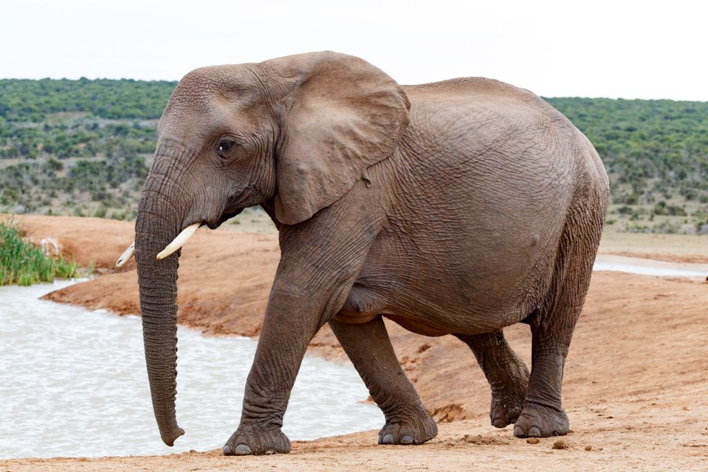 Female African Bush Elephant The Female African bush elephant is the ...