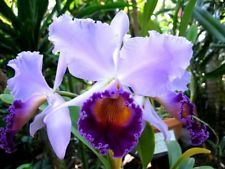 "BIN-Lc. Dinard ""Blue Heaven"" Big Blue! Cattleya AM/AOS"