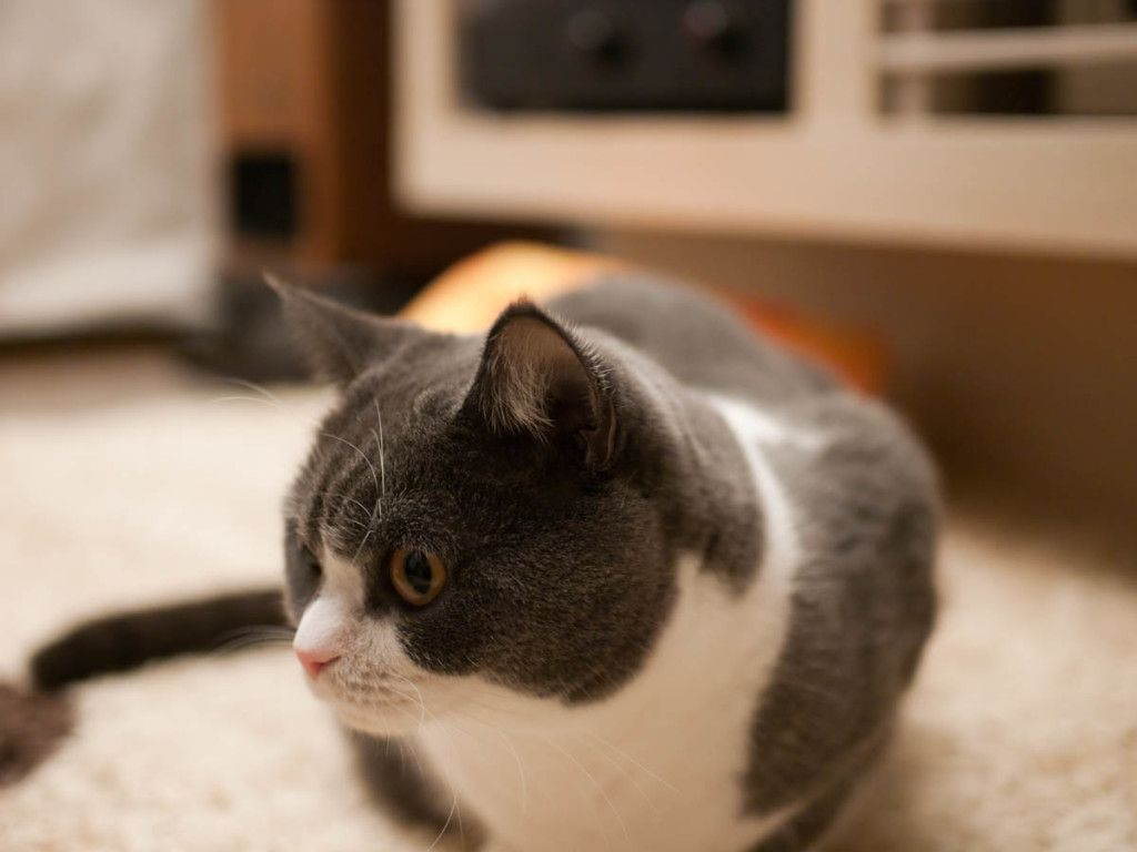 British shorthair cat top most cutest cat breeds cats and