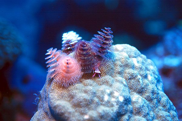 Christmas Tree Worm Christmas Tree Feathers Animals Alien Life Forms