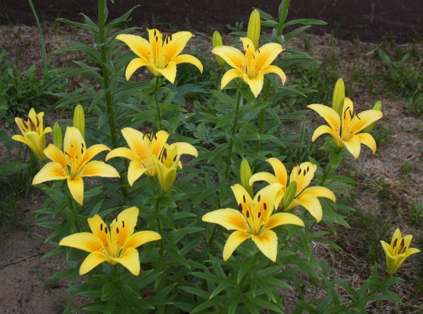 Yellow Asiatic Lily perennial | yellow and orange flowers ...