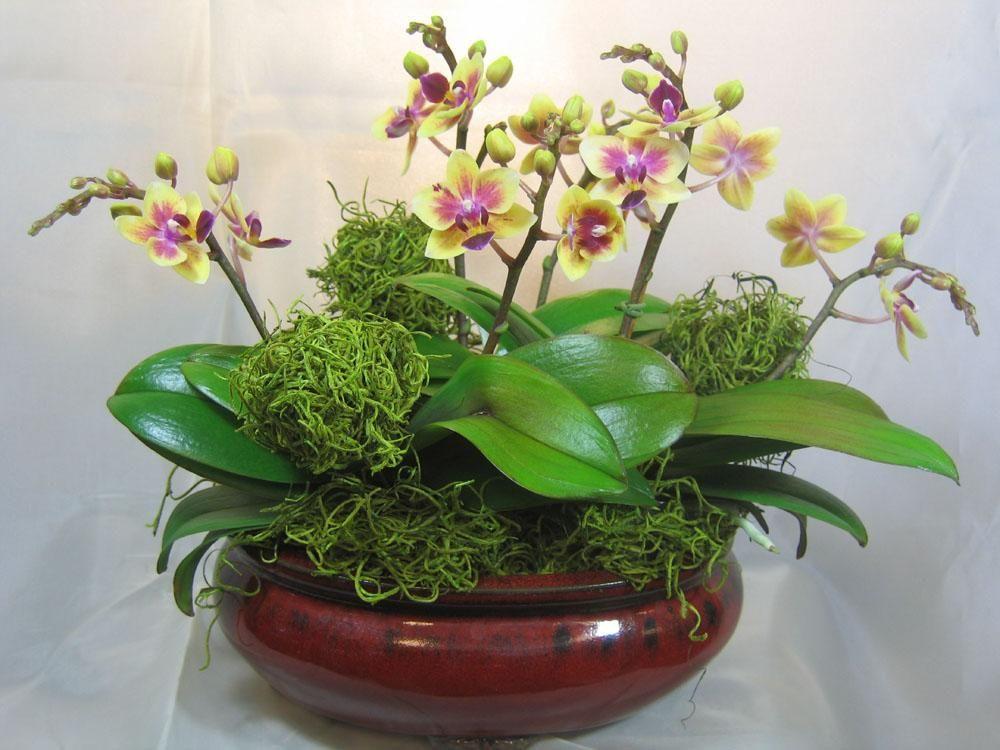 Phalaenopsis Mini Yellow Purple Lip Cviće Moje I Ja Bi