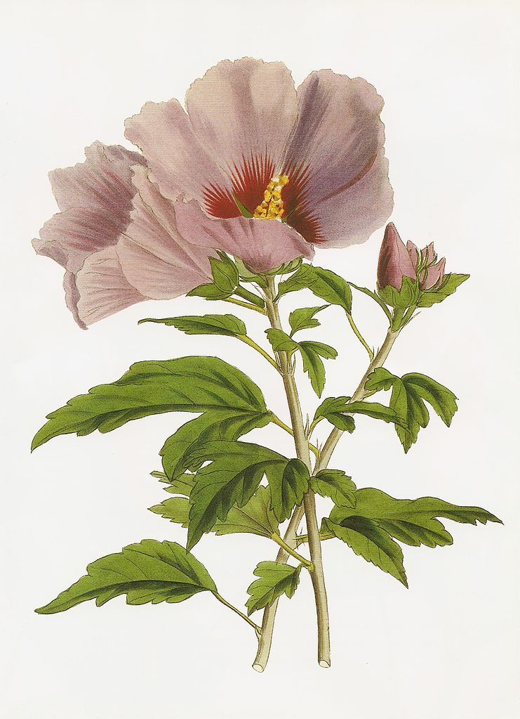 Hibiscus Syriacus Chinensis Circa 1852 画像あり アート 木