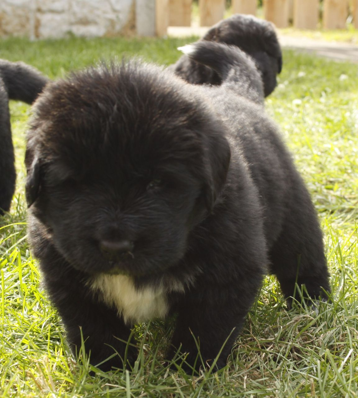 35 very beautiful newfoundland dog pictures - We Have A Top Quality Litter Of 6 Newfoundland Puppies Dogs And Bitches We Have Both Parents Who Can Be Viewed They Are Both Beautiful Newfoundlans