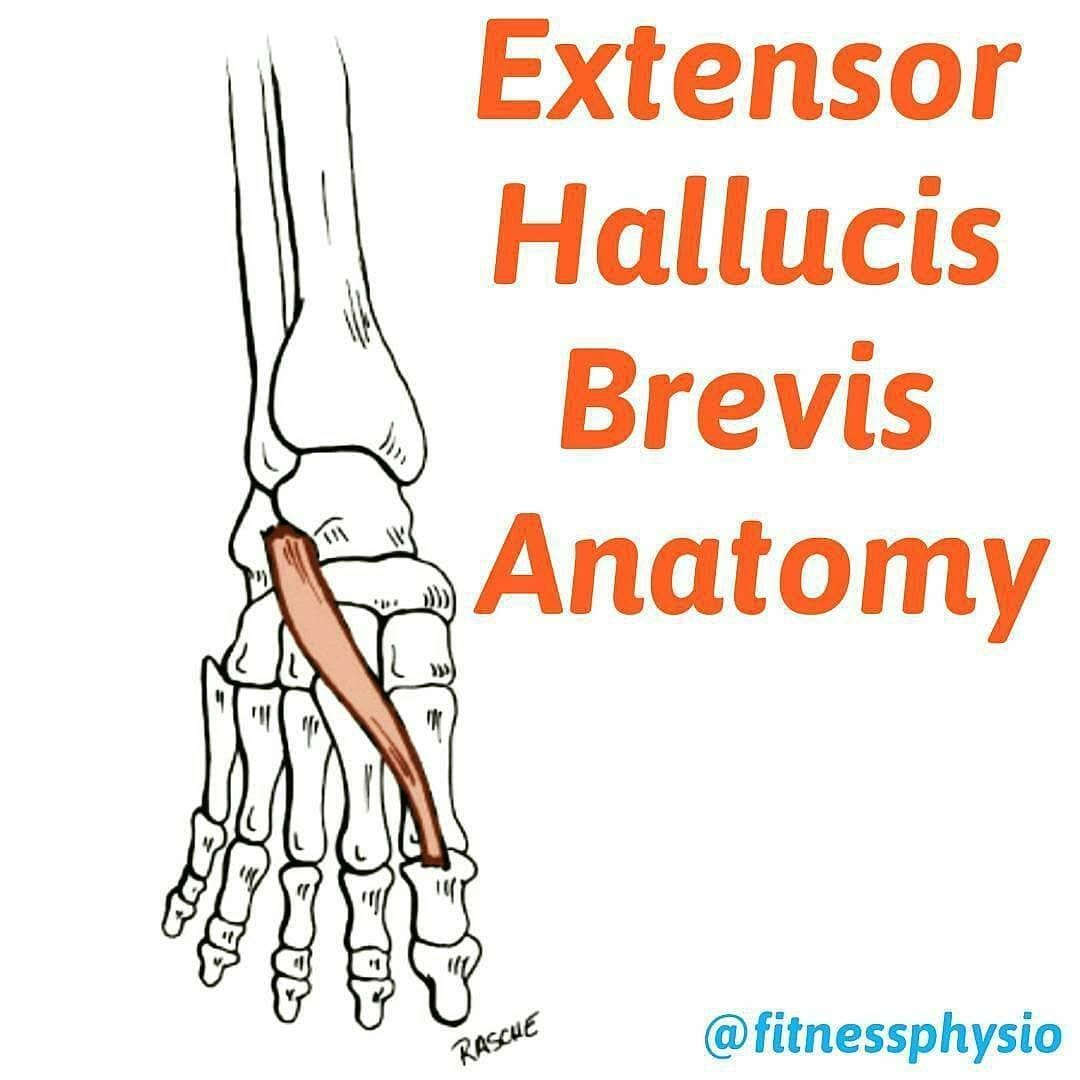 EXTENSOR HALLUCIS BREVIS ANATOMY . ORIGIN: - Dorsal surface of the ...