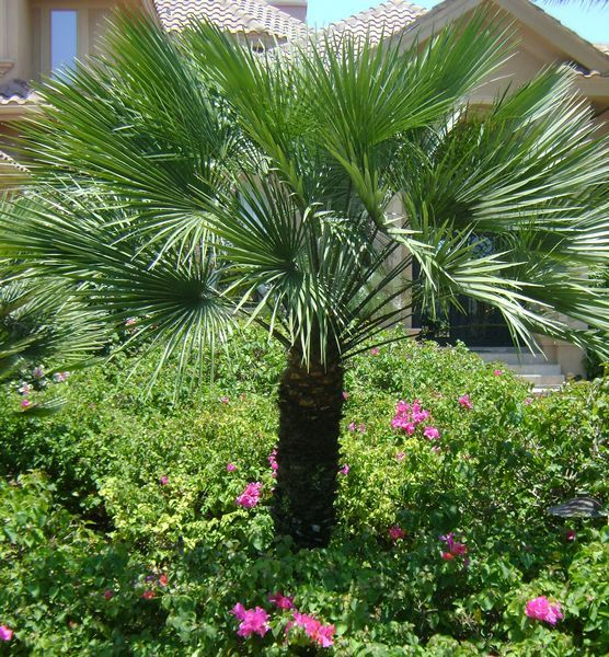European Fan Palm Chamaerops Humilis 15 H Plants Of