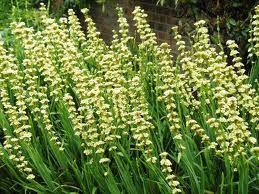 Sisyrinchium Striatum Google Search Red House Garden Plants