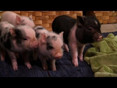 Where can you buy mini potbelly pigs?