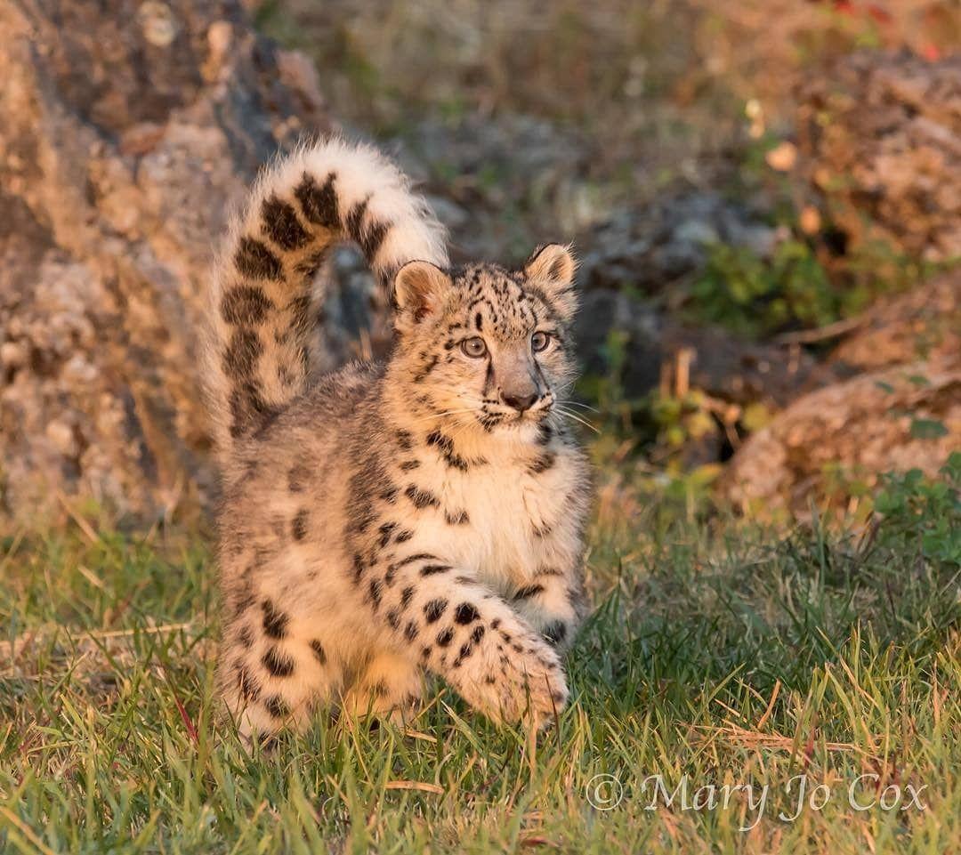 Seekor Anak Macan Tutul Salju Berbeda Dengan Jenis Kucing Besar Lainnya Macan Tutul Salju Tidak Dapat Mengaum Ataupun Mendengkur Big Cats Snow Leopard Cats