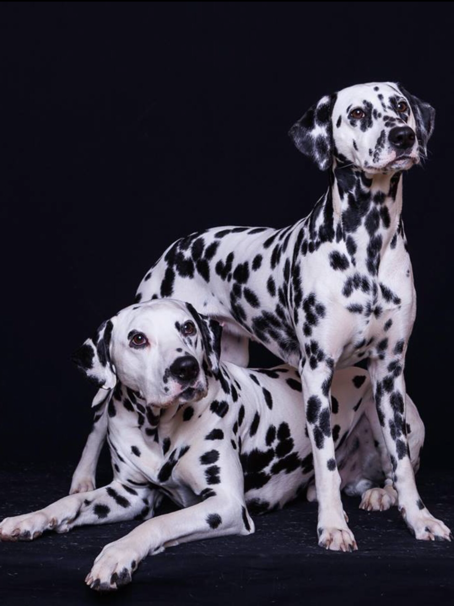 Dalmatian Puppies For Sale Deals In Prince Edward Island Canada