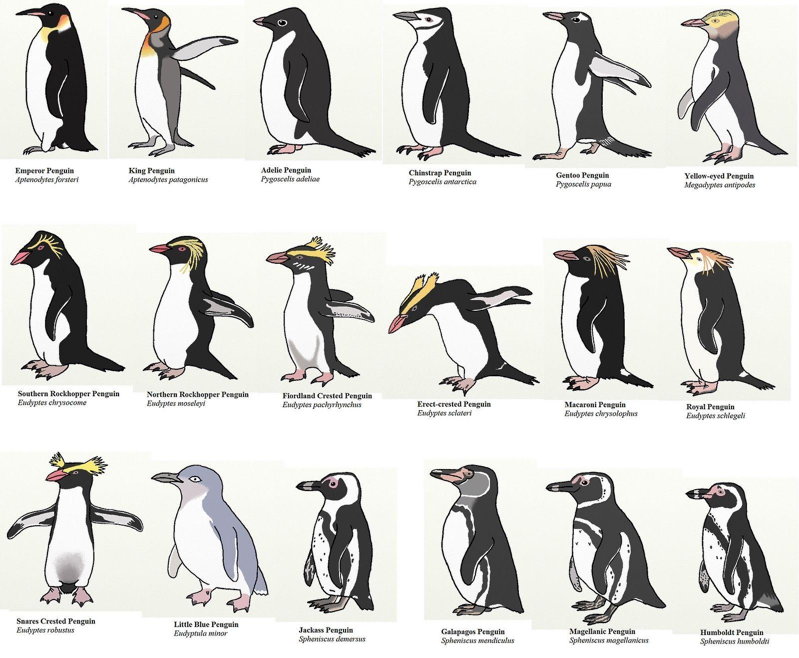 18 especies de pinguinos | Aves I | Pinterest | Especies de ...