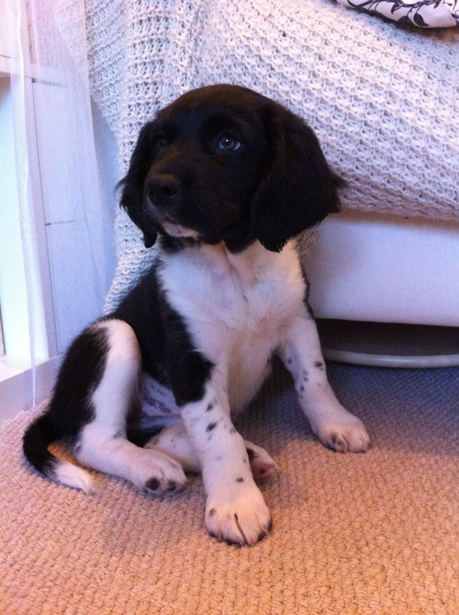Poppy 9 Weeks My Very Cute Sprollie Border Collie Springer