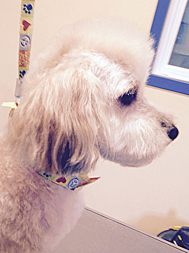 2015 8 13 Rocky The Poodle Groomingbyshelley Tags Dog Haircut Dogs Face Hair Puppy Fur Groom Illinois Grove Body Head C Dog Haircuts Poodle Haircut Poodle
