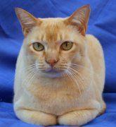 Burmese Cat Breed Profile Burmese Cat Most Popular Cat Breeds Cat Lovers