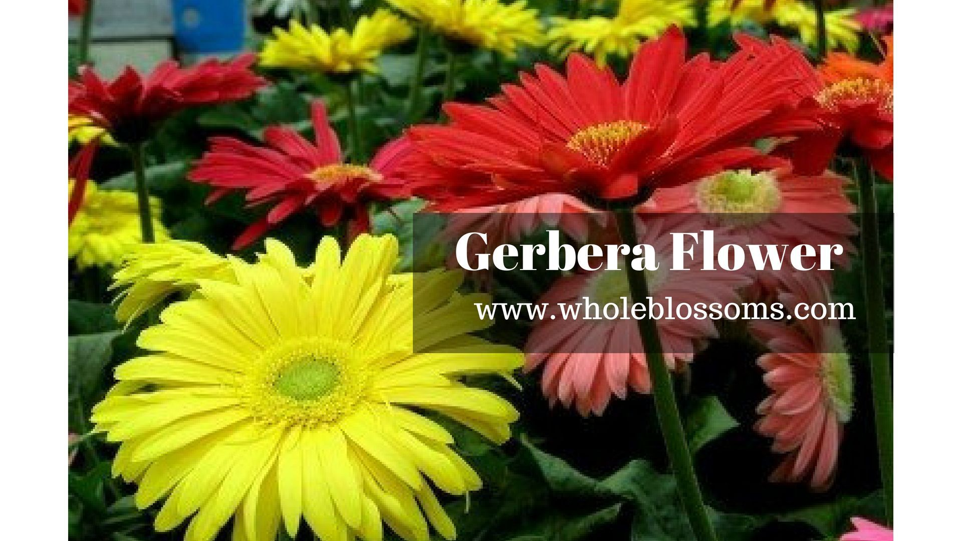 Gerbera Daisy Is One Of The Most Important Flowers In Your Wedding Decoration It Is Mostly U Daisy Bouquet Wedding Gerbera Daisy Wedding Bouquet Gerbera Daisy